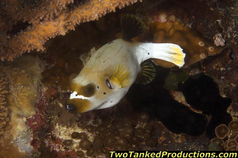 Dog face puffer fish bligh water fiji 2007 scubamagazine for Water dog fish
